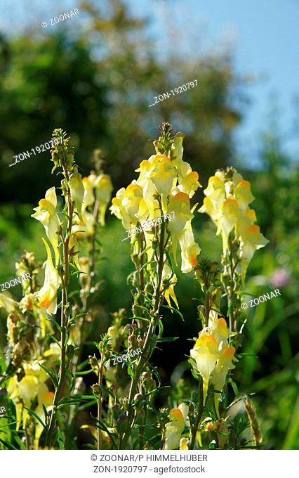 Linaria vulgaris, Echtes Leinkraut, yellow toadflax