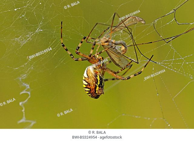 black-and-yellow argiope, black-and-yellow garden spider (Argiope bruennichi), enwrapping a caught cranefly, Germany