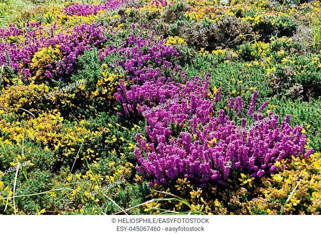 heathland with heather and gorse
