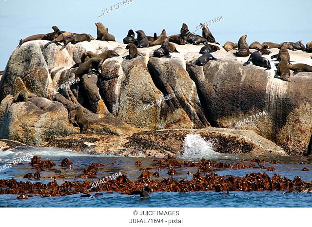 View of the South-african Fur Seal (Arctocephalus pusillus) on Duiker Island near Haut Bay, Cape Peninsula, Western Cape, South Africa