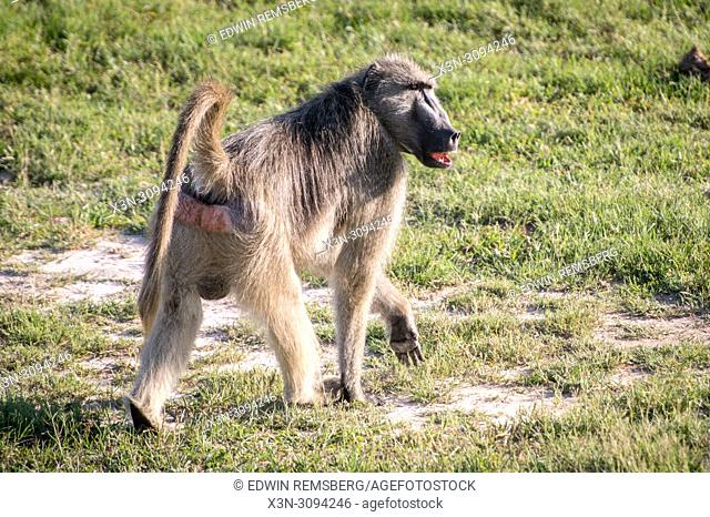 A Chacma baboon walks through the grasslands of the savanna in Hwange National Park. Hwange, Zimbabwe