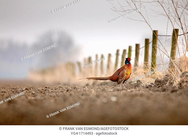 Common Pheasant Phasianus colchicus in a field
