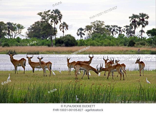 Red Lechwe Kobus leche leche adult and immature males, herd standing at edge of water in wetland habitat, with Cattle Egrets Bubulcus ibis, Okavango Delta