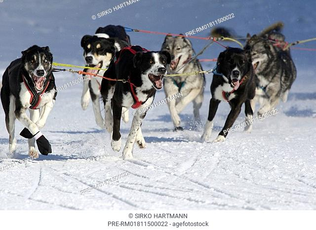Dog sledge race