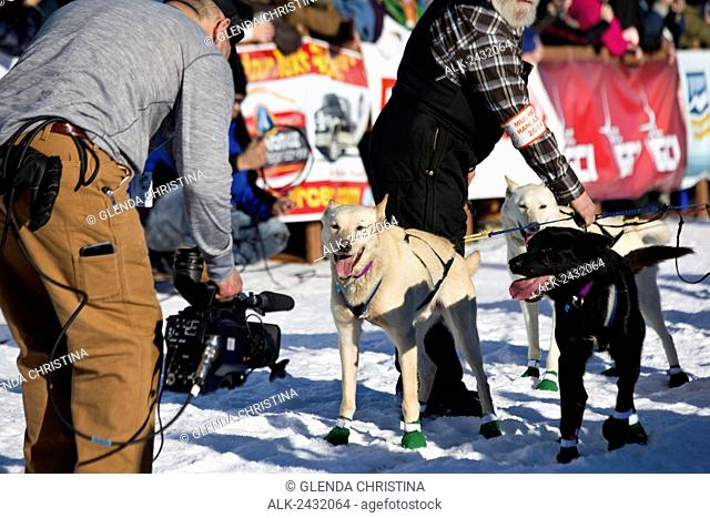 Videographer films lead dogs in the restart chute during the 2014 Iditarod sled dog race, Willow, Southcentral Alaska