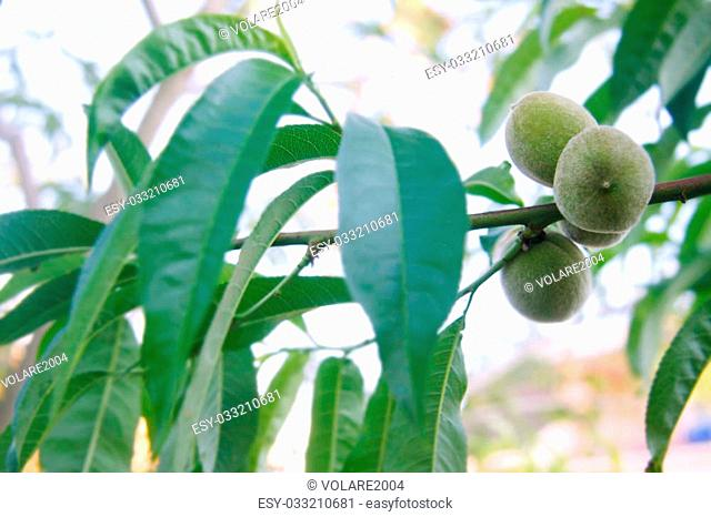 green walnuts on tree