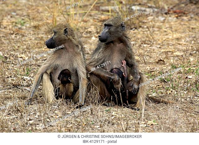 Chacma Baboons (Papio ursinus), females with young animals, suckling, Kruger National Park, South Africa