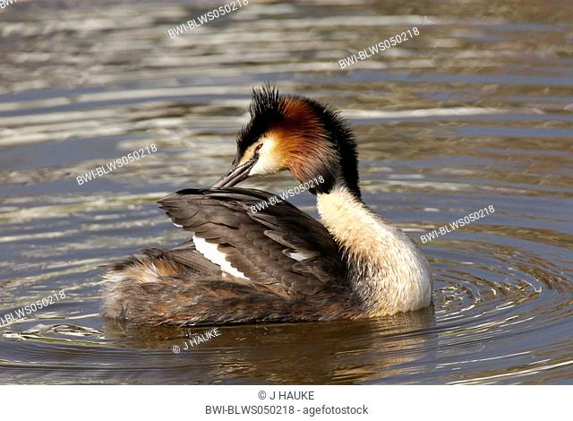 great crested grebe Podiceps cristatus, plumage care, Netherlands