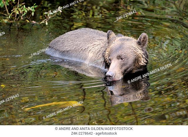 Grizzly Bear (Ursus arctos horribilis) in water, Glendale river, Canada