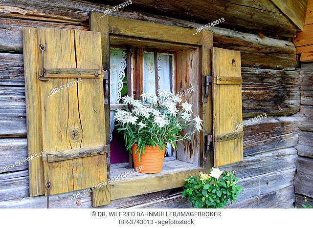 Flowerpot with edelweiss, Bindalm alpine pasture, Klausbachtal valley, Berchtesgadener Land District, Upper Bavaria, Bavaria, Germany