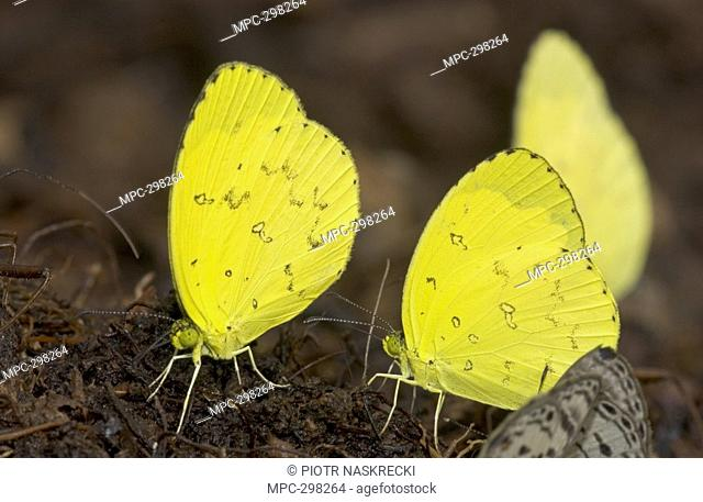 Grass Yellow Butterfly Eurema hecabe, males gather on pile of dung to sip minerals, Guinea, West Africa