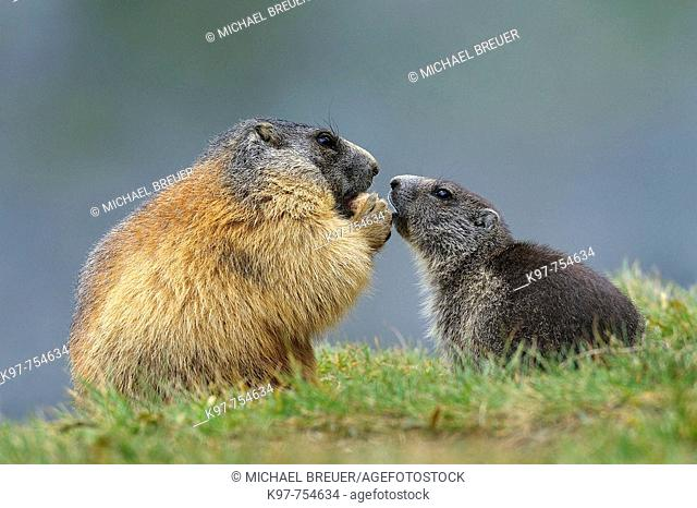 Alpine marmots in National Park Hohe Tauern, Adult with young, Groß Glockner, Austria