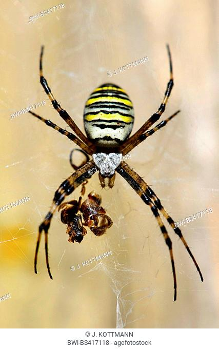 Black-and-yellow argiope, Black-and-yellow garden spider (Argiope bruennichi), in its web with prey residues, Germany