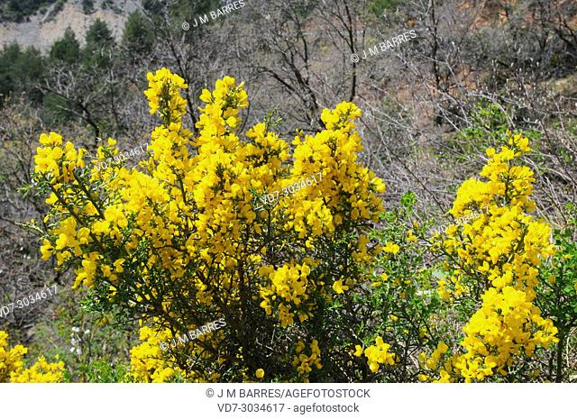 Genista scorpius is a shrub endemic to western Mediterranean region (western Spain, south France and north Africa). This photo was taken in Teruel province