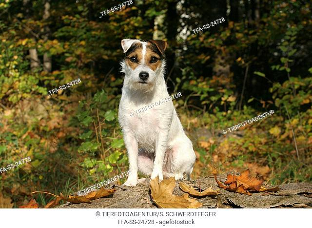 sitting Parson Russell Terrier