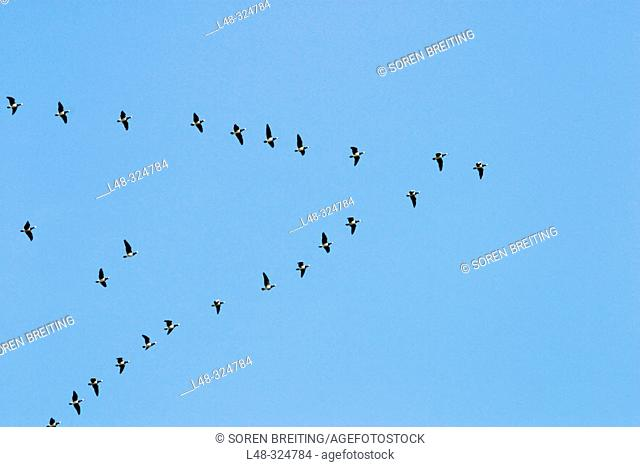 Barnacle Goose (Branta leucopsis) in huge flock flying through Denmark during spring migration in formation from the Waddensea to the northern Russian breeding...