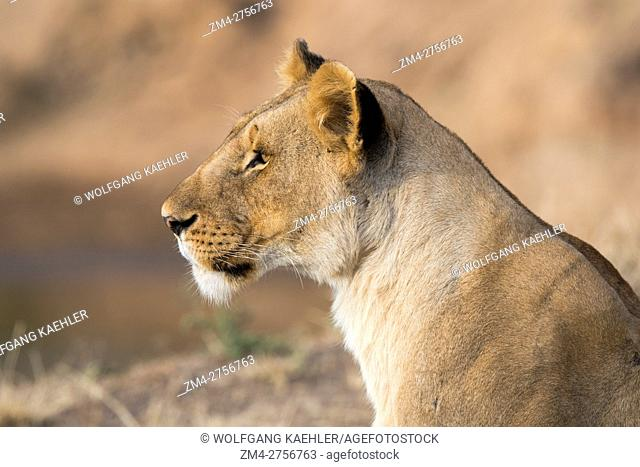A lioness (Panthera leo) is laying on the banks of the Mara River in the Masai Mara National Reserve in Kenya