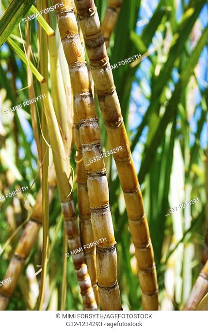 Sugarcane (Saccharum officinarum)