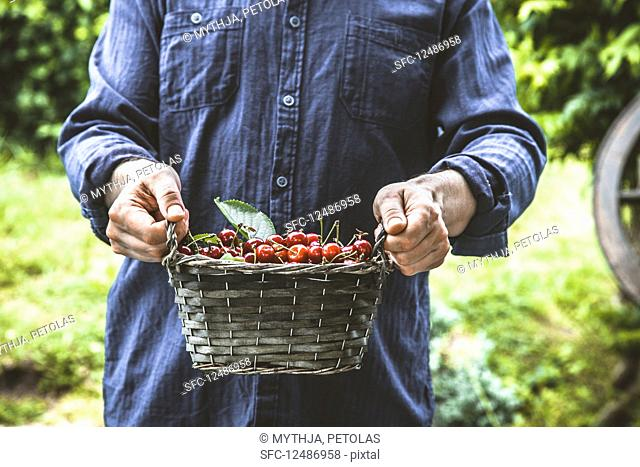 Farmers hands with freshly harvested organic cherries