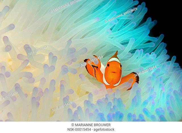 Clown Anemone Fish (Amphiprion ocellaris) in Sea Anemone (Actiniaria), Philippines, Cebu