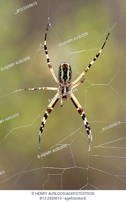 Orweb spider, Wasp spider (Argiope bruennichi), France