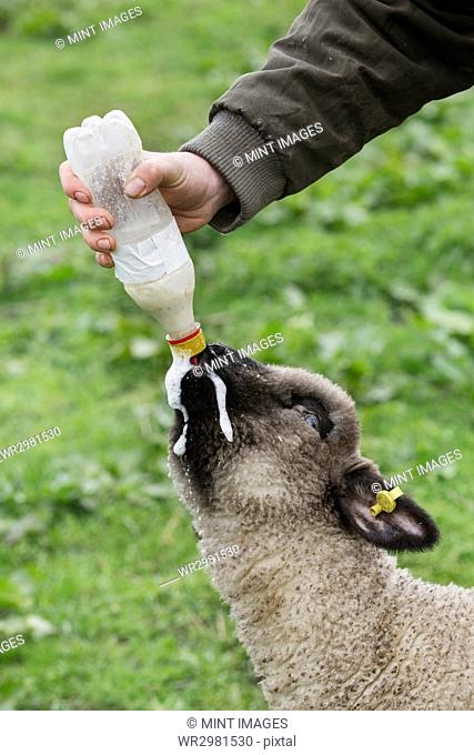 A man bottle feeding a young lamb in a field