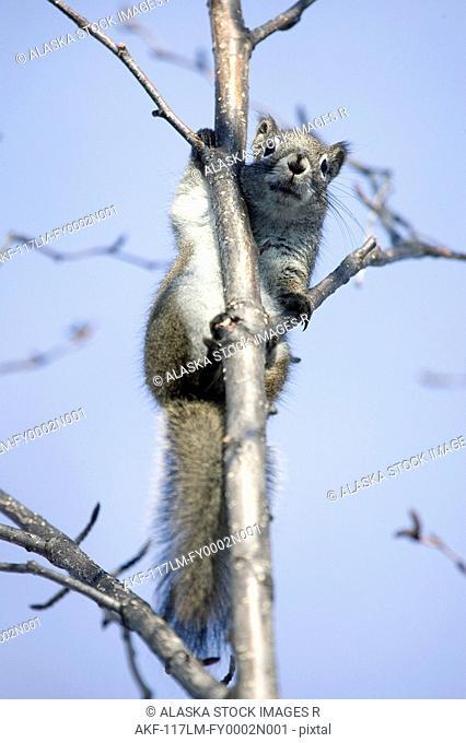 Red Squirrel perched in Alder Tree Homer Alaska Kenai Peninsula Winter