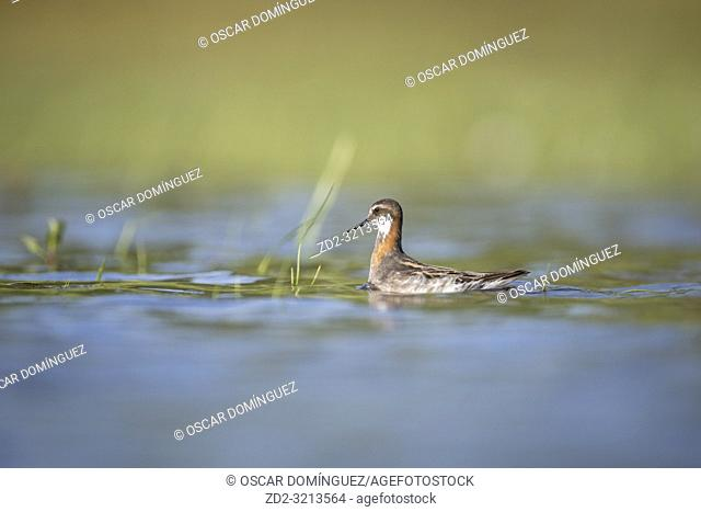 Red-necked Phalarope (Phalaropus lobatus) foraging in shallow water. Lubana Wetland Complex. Latvia