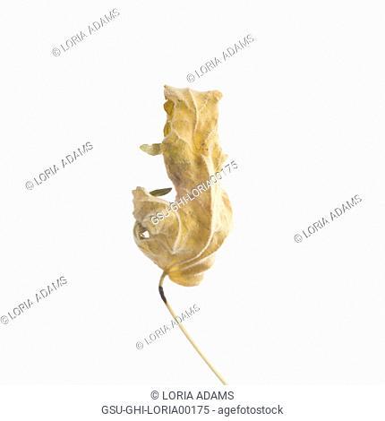 Dried Flowering Maple, Abutilon striatum thompsonii, Leaf against White Background XIV