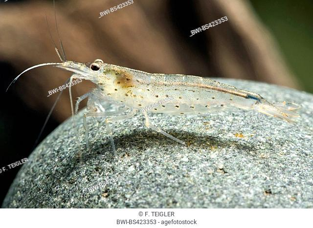 Amano Shrimp (Caridina multidentata), on a stone