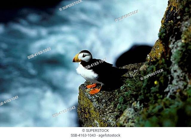 USA, ALASKA, HORNED PUFFIN SITTING ON CRAGGY CLIFFS
