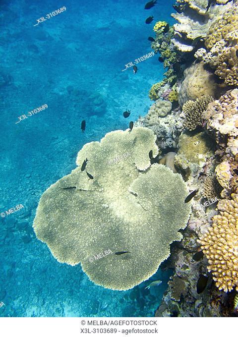 Coral. Ha'apai islands. Tonga. Polynesia