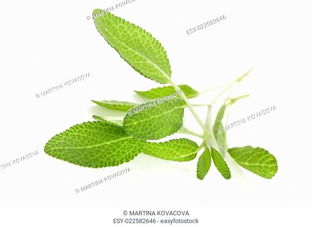 Salvia isolated on white