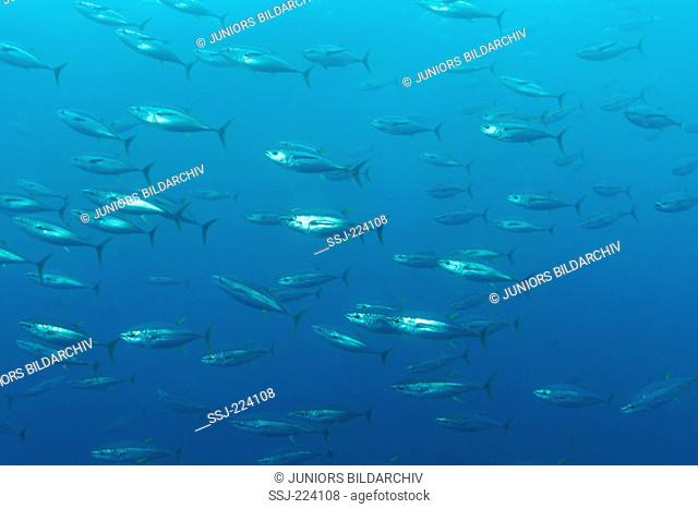 Yellowfin Tuna, Yellow-Finned Tuna, Yellow-Fin Tunny (Thunnus albacares) a school of them