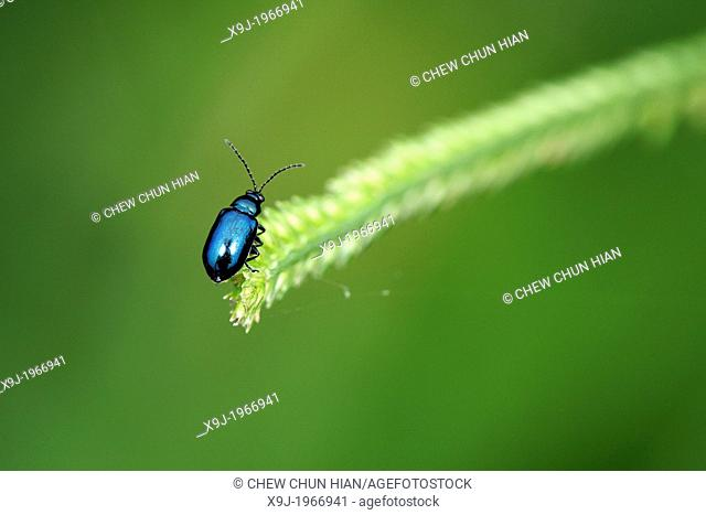 Metalic blue color of beetle of borneo