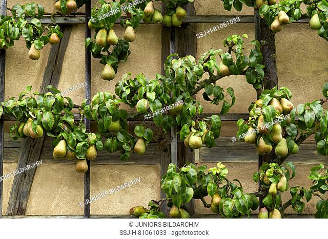 Common Pear, European Pear (Pyrus communis) trained into a horizontal espalier. Germany