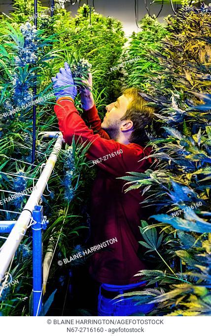 Marijuana flowering Grow room, Sticky Buds, Denver, Colorado USA. The grow facility is 20,000 sq. feet