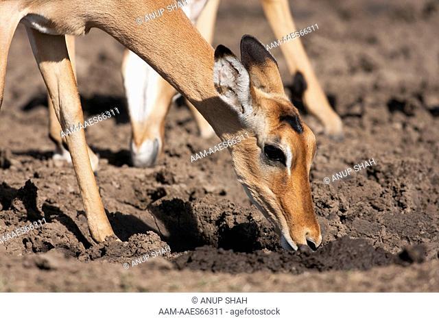 Impala feeding on soil to get salts and minerals to supplement diet  (Aepyceros melampus). Maasai Mara National Reserve, Kenya. Dec 2008