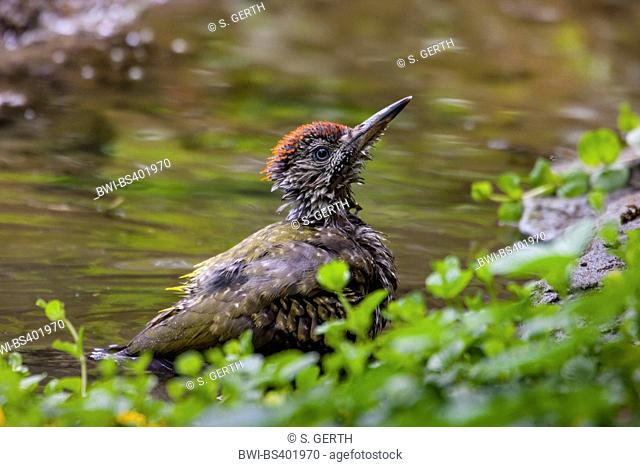 green woodpecker (Picus viridis), young bathing green woodpecker at a water place in a forest, Switzerland, Sankt Gallen