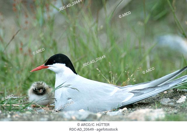 Arctic Tern with chick Norway Sterna paradisaea