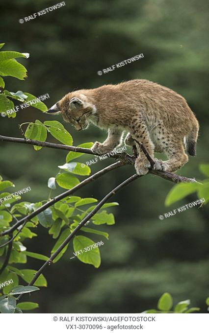 Eurasian Lynx ( Lynx lynx ), cute cub with huge paws, balances on a branch of a bush, training its skills, funny