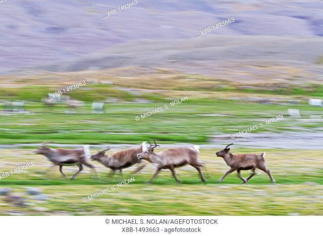 A small group of reindeer Rangifer tarandus running in Fortuna Bay, South Georgia  MORE INFO A few reindeer from Norway were introduced to the South Atlantic...