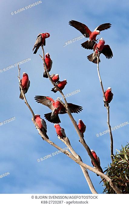 A flock of Galahs (Eolophus roseicapilla) in a tree. Victoria, Australia