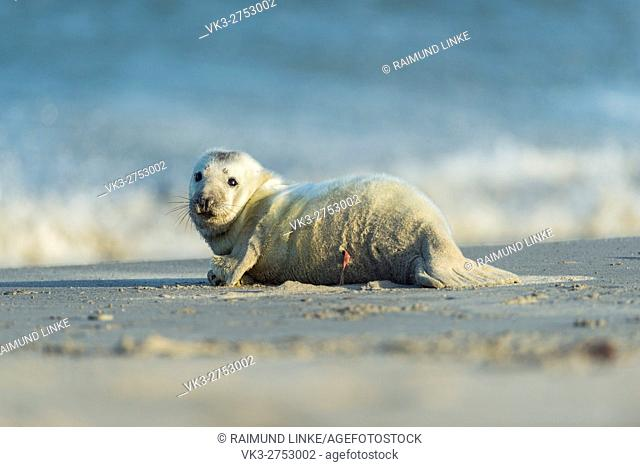 Grey Seal, Halichoerus grypus, Pup on the Beach, Europe