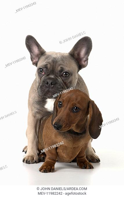 DOG. French Bulldog with Miniature Dachshund