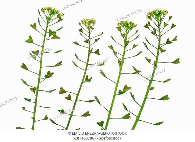 Shepherd's purse Capsella bursa pastoris