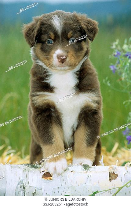 Australian Shepherd. Puppy standing on a Birch log. Germany