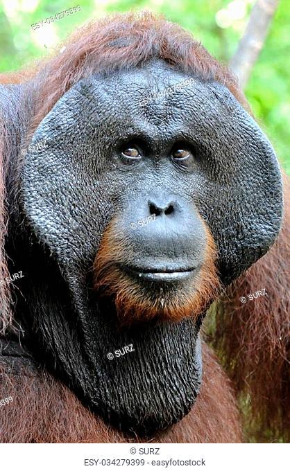 The adult male of the Orangutan in the bush. Adult male of the orangutan in the wild nature. Island Borneo. Indonesia
