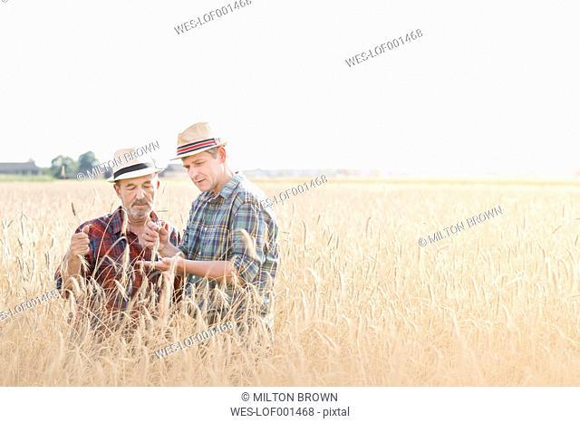Two farmers examining grain in field
