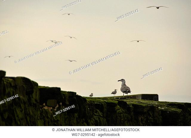 SCOTLAND Pittenweem -- Seagulls on the harbour wall -- Picture by Jonathan Mitchell/Atlas Photo Archive
